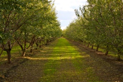 Cotta's Almond Orchard